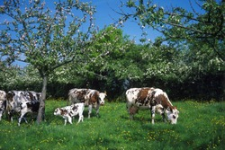 Normandy Cow, Domestic Cattle under Apple Trees, Normandy