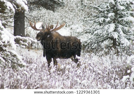 North American animal moose
