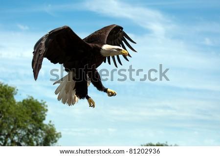 North American Bald Eagle in Flight