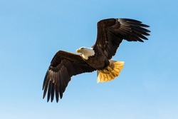 North American Bald Eagle in mid flight, hunting for food along river waters and wilderness trees