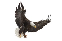 North American Bald Eagle on white background