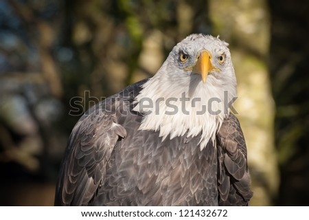 north american bald eagle with an aggressive stare