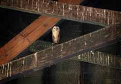 North American Barn Owl. The barn owl is the most widely distributed species of owl in the world and one of the most widespread of all species of birds seen here at an abandoned milk barn.