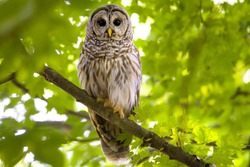 North American barred owl in the forest showing confidence and power.  perched in a tree with a slightly blurred background.