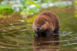 North American Beaver (Castor canadensis) Kit Stands in Water - captive animal