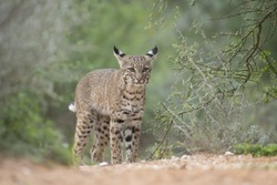 North American Bobcat at pond in Southern Texas