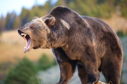 North American Brown Bear (grizzly) Growling