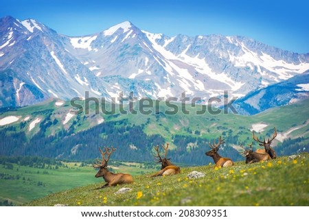 North American Elks on the Rocky Mountain Meadow in Colorado, United States. Resting Elks Stock photo ©