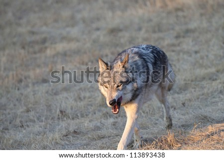 North American Grey Wolf