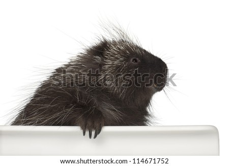 North American Porcupine, Erethizon dorsatum, also known as Canadian Porcupine or Common Porcupine getting out of box, e against white background - stock photo