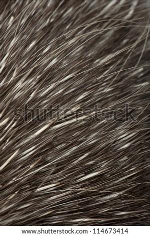 North American Porcupine, Erethizon dorsatum, also known as Canadian Porcupine or Common Porcupine, close up of fur
