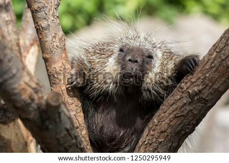 North American Porcupine (Erethizon Dorsatum) climbing a tree, also known as the Canadian Porcupine or common Porcupine
