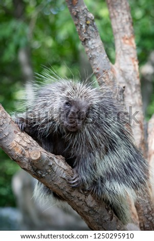 North American Porcupine (Erethizon Dorsatum) climbing a tree, also known as the common porcupine