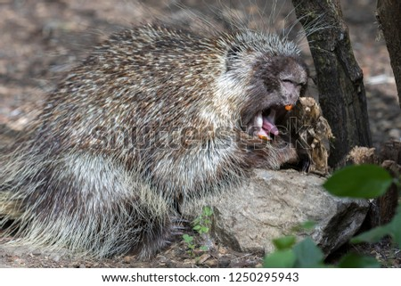 North American Porcupine (Erethizon Dorsatum) eating a stem, also known as the Canadian Porcupine or common Porcupine