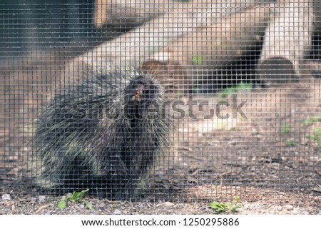 North American Porcupine (Erethizon Dorsatum) standing behind a fence at the zoo, also known as the Canadian Porcupine
