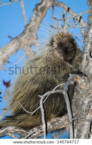 North American porcupine in a tree top at dusk, Alberta Canada