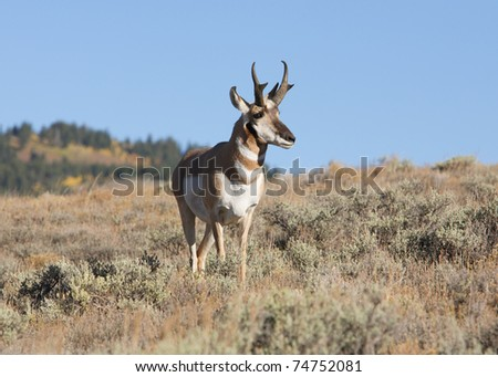 North American pronghorn antelope buck in nature
