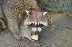 North American raccoon eating a fruit.