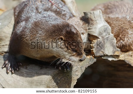 North American River Otter, Lontra canadensis
