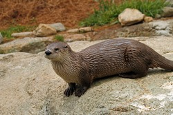 North American River Otter (Lontra canadensis), Captive animal.