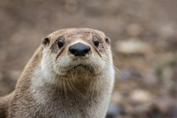 North American River Otter (Lontra canadensis) closeup looking straight