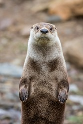 North American River Otter (Lontra canadensis) closeup looking straight, portrait