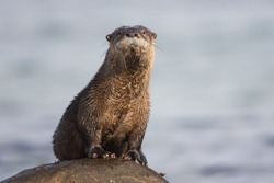 North American River Otter Lontra canadensis on a rock in Qualicum Beach, British Columbia, Canada