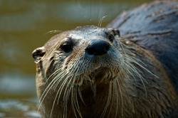 North American River Otter  (Lontra canadensis)  Portrait,wet fur and whiskers,upright,head shot.