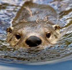 North American River Otter  (Lontra canadensis)  Portrait,wet fur, swimming,head shot.