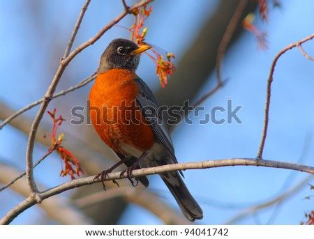 North American robin Turdus migratorius in warm sunset light on a tree