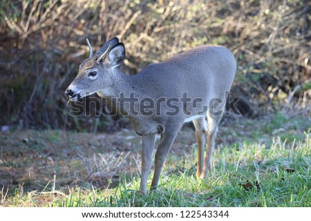 North American White-tailed deer #122543344