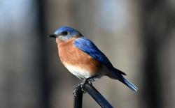North Carolina perching Blue bird