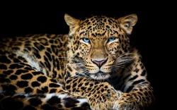 North China leopard Panthera pardus japonensis black backround Zoo
