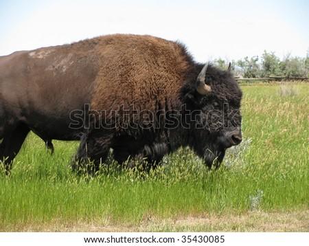 North Dakota Buffalo