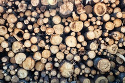 North Forestry. Timber cutting, Wood storage place. Ends, heads of spruce logs. Stack of spruce logs, softwood