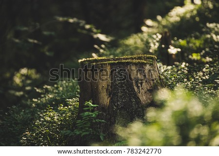 north scandinavian pine forest  ...