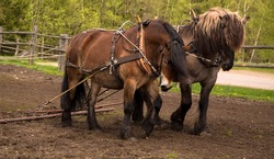 North swedish draft horses in work