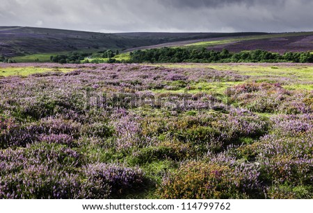 North York Moors, Goathland, Levisham, Yorkshire, UK. Heather in bloom accross the moors between the villages of Levisham and Goathland.