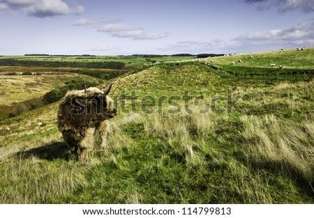 North York Moors, Goathland, Levisham, Yorkshire, UK. Scottish Highland cow near Levisham in the heart of the North York Moors.