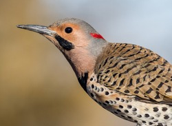 Norther Flicker closeup, Colaptes auratus, a medium sized bird of the Woodpecker family, looking left with natural green earthy tones background