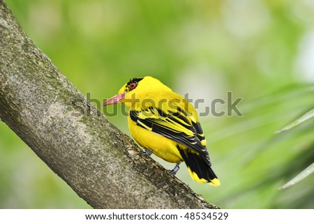 Northern african golden oriole perched on a branch