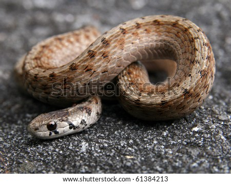 Northern Brown or DeKay's Snake (Storeria dekayi)