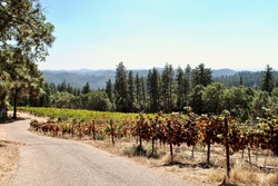 Northern California vineyard near Grass Valley. The vines grow on steeply terraced terrain in the Sierra Foothills. The 'View Forever Vineyard' is owned and operated by Lucchesi Vineyards and Winery.