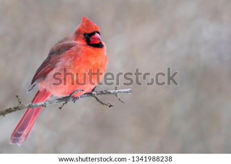 Northern Cardinal - Cardinalis cardinalis, a male perched on a branch with raised crest and puffed up to keep warm.  Background is bokeh of snowy forest.