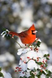 Northern Cardinal (Cardinalis cardinalis) male in China girl holly (Ilex x. Meserveae 'China Girl') in winter, Marion, Illinois, USA.