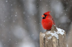 Northern Cardinal in Canadian winter