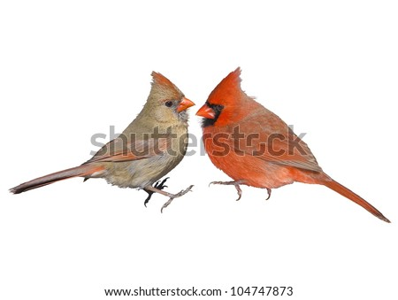 Northern Cardinal, male and female, couple. Latin name - Cardinalis cardinalis. Isolated. Focus on the birds!