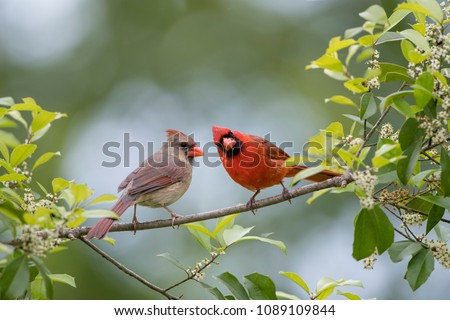 Northern Cardinal Male and Female Perched on Branch of American Holly Tree in Spring in Louisiana