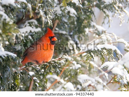 Northern Cardinal male perched on a cedar hedge in the snow with sparkling bokeh.