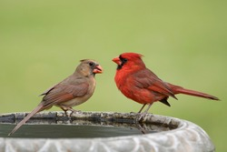 Northern Cardinal Pair Perched on Bird Bath